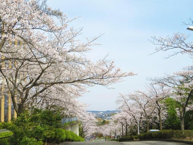 キャンパス内で開花したソメイヨシノ(3)